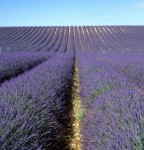 A Passion for Lavender