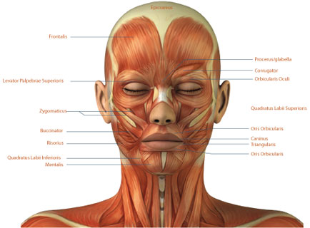 muscles-of-the-face