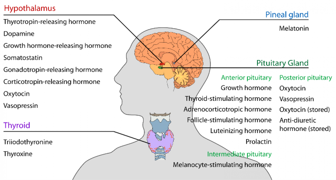Hormones and Skin Disease
