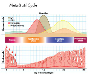 MenstrualCycle