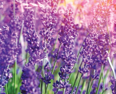 Lavender: The World's Smallest  Medicine Chest