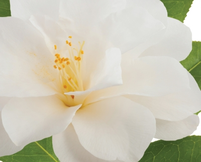 Beautiful Camellia for Beautiful Complexions