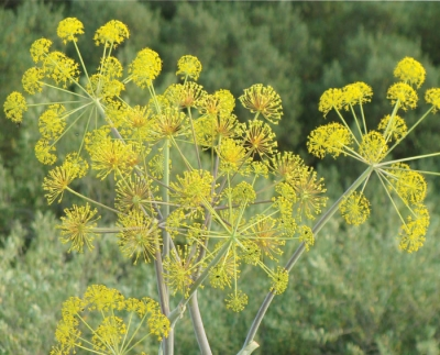 August is National Fennel Month